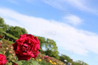 赤いバラと青い空!の写真・画像素材[1227300]