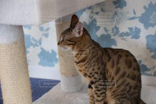 カメラにポーズを鏡の前で座っている猫遠くを眺める猫の写真・画像素材[1634101]