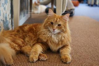 地面に横たわっている大きなオレンジ色の猫の写真・画像素材[1636925]