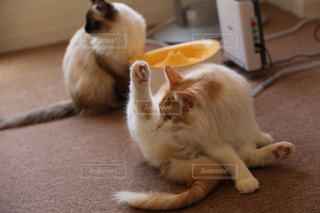 ヨガをする猫の写真・画像素材[1636938]