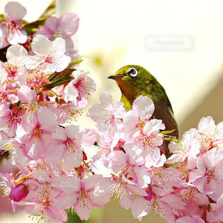 桜とメジロの写真・画像素材[334681]