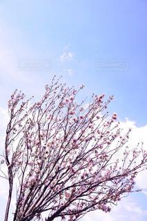 快晴と桜の木の写真・画像素材[4437853]