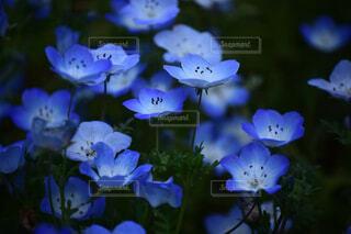 水色の花の写真・画像素材[4437856]