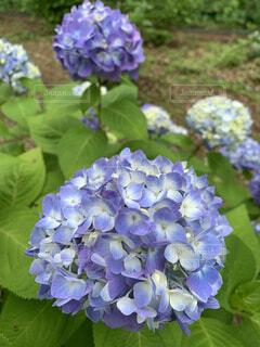 植物の紫色の花のクローズアップの写真・画像素材[4440970]
