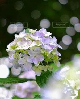 紫陽花 梅雨 季節 季節の花の写真・画像素材[4440389]