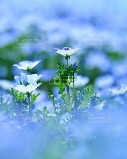 ネモフィラ畑 ネモフィラ 春の写真・画像素材[4440917]