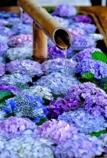 紫陽花が浮かぶ神社の花手水の写真・画像素材[4547264]