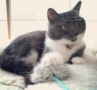 横たわる猫の写真・画像素材[4444950]