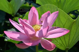 伊佐沼の古代蓮の花とミツバチの写真・画像素材[4663136]