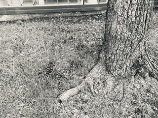 木の根の写真・画像素材[3316241]