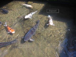 鯉の餌やりの写真・画像素材[4445248]