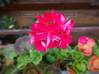 鮮やかピンクの花の写真・画像素材[4447637]