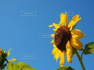 向日葵の写真・画像素材[4713056]