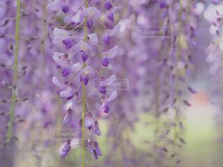 藤の花の写真・画像素材[4447072]