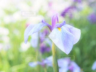 花菖蒲の写真・画像素材[4460921]