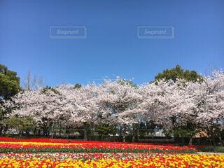 満開の桜の写真・画像素材[4458318]