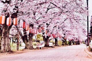 桜並木の写真・画像素材[4922809]