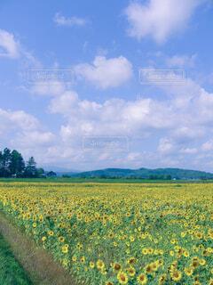 晴れの日のひまわり畑の写真・画像素材[4543298]