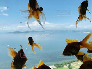 金魚 アクアリウム 画像 写真 素材の写真・画像素材[4451059]