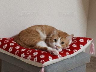 座布団の上でくつろぐ猫の写真・画像素材[4522489]