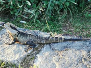 草の中に横たわる爬虫類の写真・画像素材[4452756]