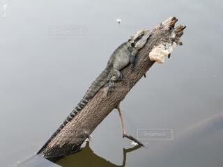 水の体に位置するトカゲの写真・画像素材[4454649]