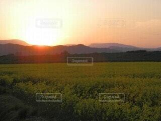 菜の花畑の夕暮れの写真・画像素材[4455479]