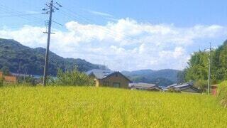 一面に広がる黄緑色の田んぼと空の風景の写真・画像素材[4528787]