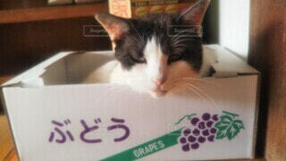 ぶどうの段ボール箱の中にいる猫の写真・画像素材[4560353]
