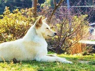 草の上に座っている白い犬の写真・画像素材[4560352]