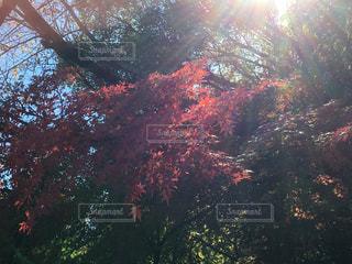 昭和記念公園の紅葉の写真・画像素材[922893]