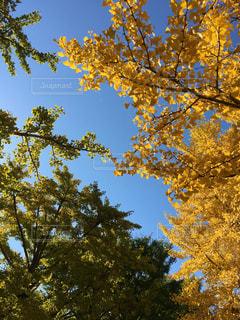 昭和記念公園の紅葉の写真・画像素材[922899]