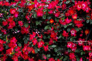 赤い花の写真・画像素材[4455528]