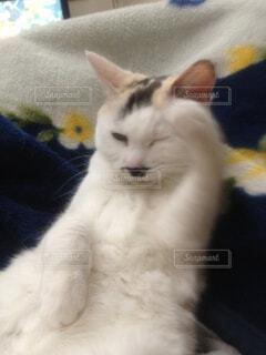 敬礼する猫の写真・画像素材[4456185]