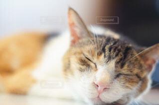気持ち良さそうに寝る三毛猫の写真・画像素材[4458569]