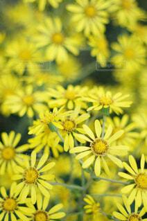 可愛い黄色い花の写真・画像素材[4458604]