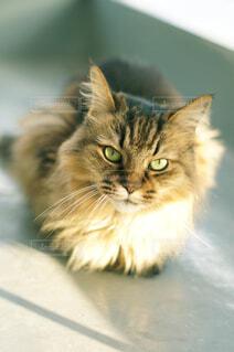 西日にあたる猫の写真・画像素材[4460325]