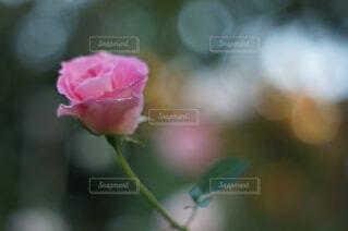 ピンクの薔薇の花の写真・画像素材[4460342]
