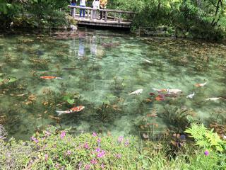 モネの池の写真・画像素材[4459826]