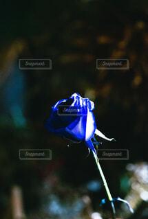 青い薔薇〜夢は叶う〜の写真・画像素材[4557315]