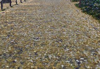 銀杏の絨毯の写真・画像素材[4501946]