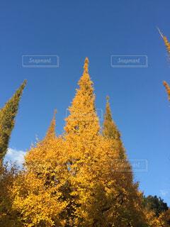 銀杏並木の写真・画像素材[4501950]