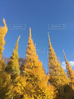 銀杏並木の写真・画像素材[4501949]