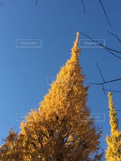 銀杏並木の写真・画像素材[4501954]