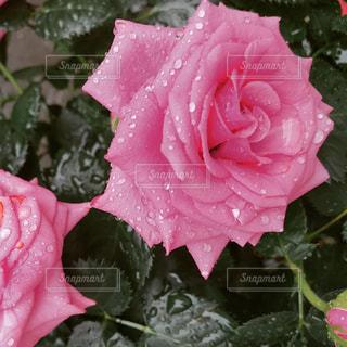 近くにピンクの花のアップの写真・画像素材[1265785]