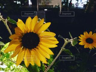 黄色の花の写真・画像素材[1356816]