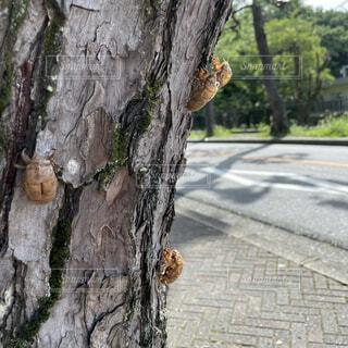蝉の抜け殻の写真・画像素材[4652981]