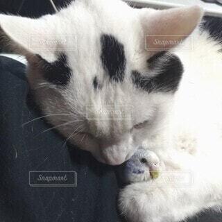 インコと寝るヌコの写真・画像素材[4488964]