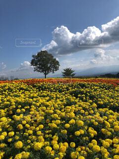 マリーゴールドと青い空の写真・画像素材[4469774]