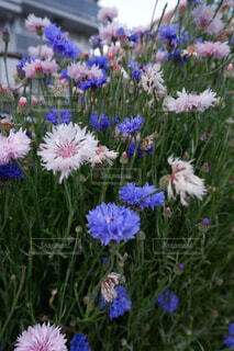 ピンクの花のグループの写真・画像素材[4470647]